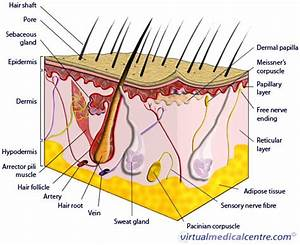 Anatomy Of Skin  Epidermis  Information