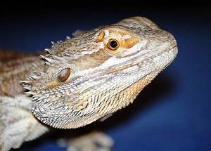 Bearded Dragons Blamed For Salmonella Outbreak | Popular ...