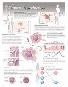 Female Reproductive System  U2013 Scientific Publishing