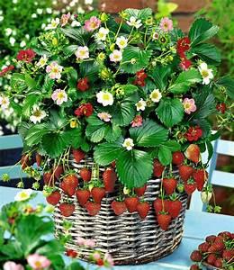 Erdbeeren Pflege Balkon : h nge erdbeeren 39 flower berry 39 mix sonderartikel bei ~ Lizthompson.info Haus und Dekorationen