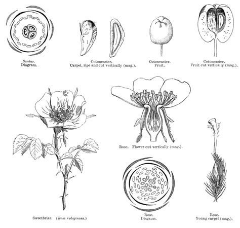 Angiosperm Families Rosaceae