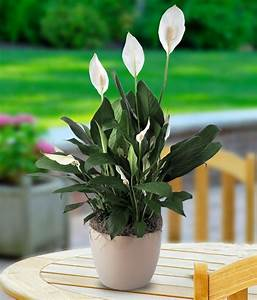 Peace Lily Planter - Flowering Plants for Delivery