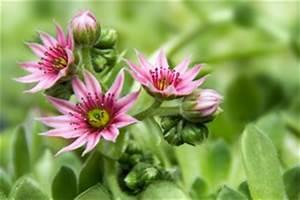 Sukkulenten Arten Bilder : sukkulenten pflanzen pflege arten ~ Lizthompson.info Haus und Dekorationen