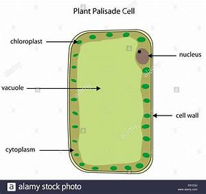 Labeled Diagram Of A Plant Palisade Cell Where