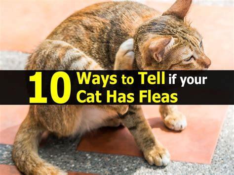 how to tell if cat has fleas reddit