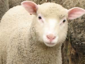 Résultat d'images pour mouton