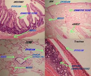12 Best Histology Images On Pinterest