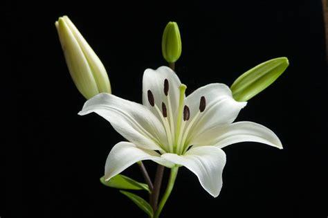 schwarze lilie blume blumen bedeutung lilie die lilie sprache der blumen papageienblume bedeutung blumen im sommer