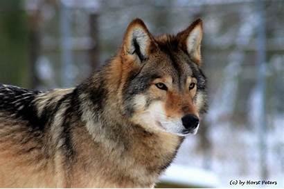 Wolf Timber Timberwolf Bluesgrass Deviantart Wallpapers Wolves