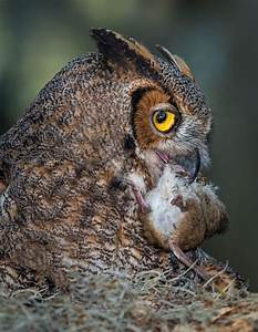 Nesting Great Horned Owl | Stephen L Tabone Nature Photography