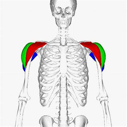 Shoulder Muscle Anterior Head Function Delts Exercises