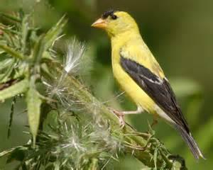 State bird of Washinton: Willow Goldfinch Washington
