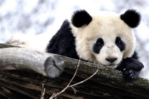 Panda Wallpaper ·① Download Free Beautiful Hd Wallpapers