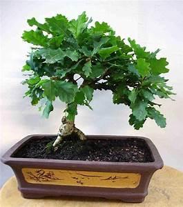 Deutsche eiche baum image gallery deutsche eiche eiche for Garten planen mit bonsai lebensbaum kaufen
