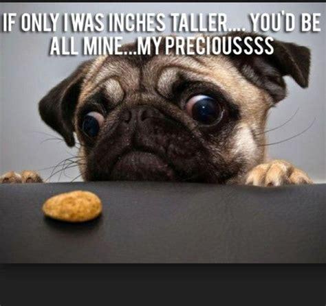 Pug Meme - funny pug dog memes pugs pinterest memes the o jays and pug dogs