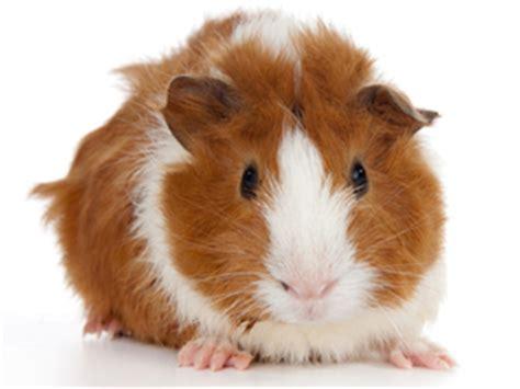 guinea pig facts lesson  kids studycom