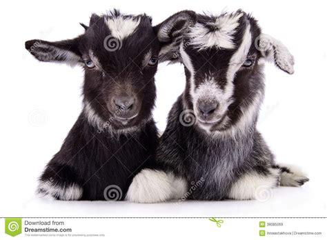 farm animal goat isolated royalty stock images image