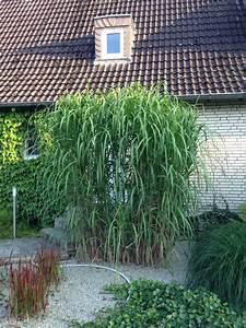 Chinaschilf Im Kübel : riesen chinaschilf im k bel pflanzen f r nassen boden ~ Frokenaadalensverden.com Haus und Dekorationen
