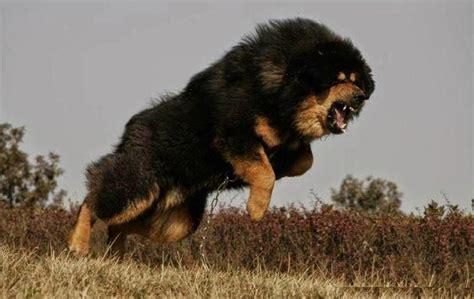 tibetan mastiff akc dog breeds wiki fandom powered