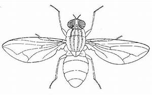 How to draw house fly