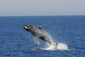 Blue Whales Jumping Out Of Water