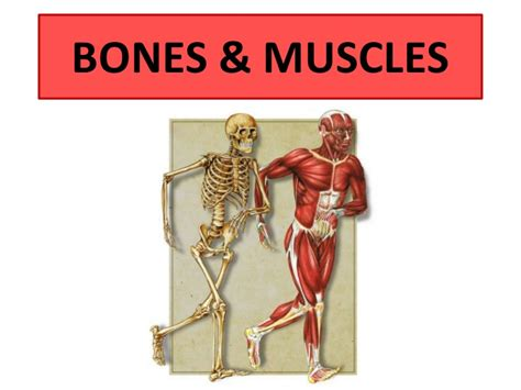 Choose from 500 different sets of flashcards about muscles and bones human anatomy on quizlet. Bones and muscles