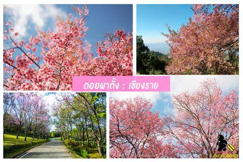 ซากุระเมืองไทย สวยเหมือนไปญี่ปุ่น!! | บล็อคท่องเที่ยว รับ ...