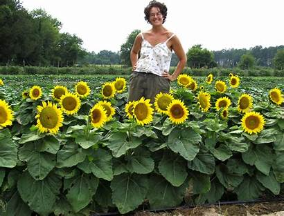 Sunflower Short Garden Stuff Seeds Yellow Flowers