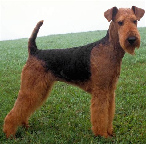airedale terrier non shedding hypoallergenic breeds dogs that don t shed k9