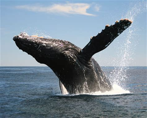cabo san lucas whale watching whale watching  baja