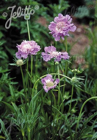 Jelitto Perennial Seed Scabiosa Caucasica Perfecta