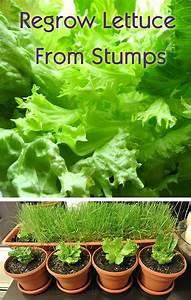 78+ ideas about Regrow Lettuce on Pinterest | Growing ...