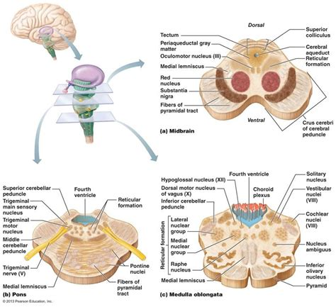 In this article, we will look at the function, structure and clinical conditions associated with the central nervous system. cerebellum anatomy - Google Search   Cerebellum anatomy, Nervous system anatomy, Brain anatomy
