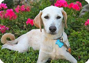 Marshall | Adopted Puppy | Los Angeles, CA | Labrador ...