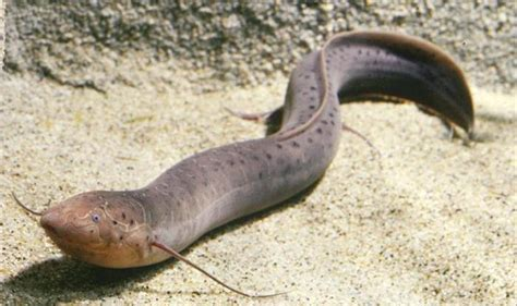 picture   day african lungfish