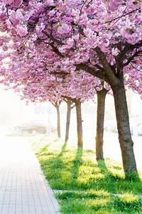 Rosa Blühende Bäume April : rosa bl hende dekorative b ume der sch nheit stockbild bild von sch n betrieb 71047367 ~ Michelbontemps.com Haus und Dekorationen