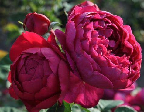 Lade Di Sale Rosa by Ascot Purple Blue Grandiflora Shrub