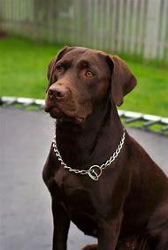 Labrador Retriever Chocolate Lab Dogs