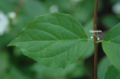 philadelphus lewisii landscape plants oregon state