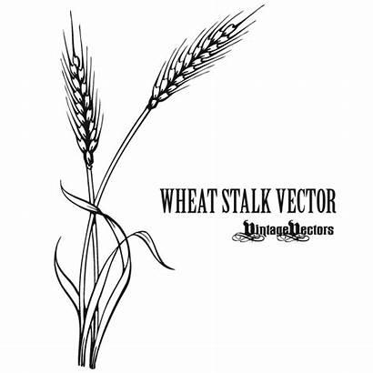 Wheat Stalk Vector Clipart Tattoo Drawing Grain