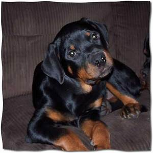 Help name our female Rottweiler puppies? - by jusfine ...