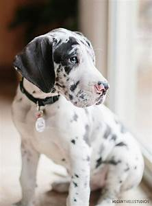 Great Danes are seriously the most beautiful puppies ever ...