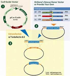 Gene Specific Crispr Cas9 Knockout Kit  Includes Two Gene