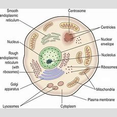 The Cells, Tissues And Organisation Of The Body  Basicmedical Key