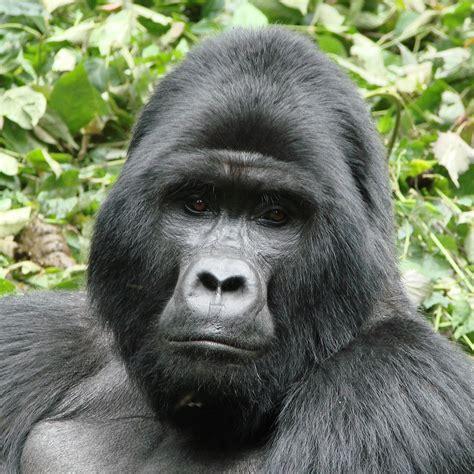 mountain gorilla national geographic