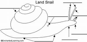 Land Snail Anatomy Diagram To Label