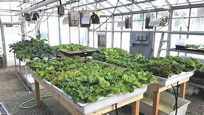 Hydroponic Farming Lettuce Cultivation Farm Heard Modern