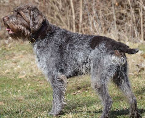 wirehaired pointing griffon non shedding breeds that dont shed breeds picture