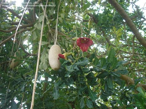 Plantfiles Pictures Sausage Tree (kigelia Africana) By