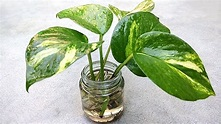 Grow money plant from single leaf , Grow indoor - YouTube